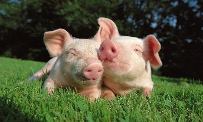Россельхознадзор снял ограничения с бразильской свинины