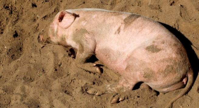 Свиноводы Дании пострадали от российского эмбарго
