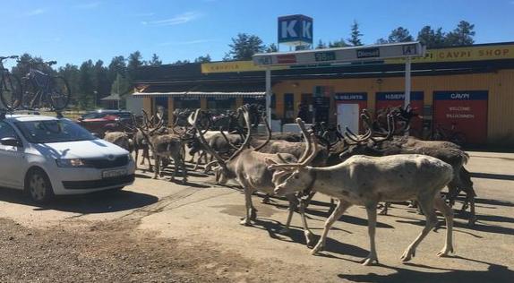 Из-за жары в Лапландии олени атакуют придорожный магазин