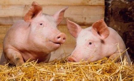 Импорт свинины из Бразилии в Россию вырос на 100% с января 2014 года