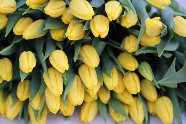 Европейский партнер намерен засудить «Белую дачу» из-за тюльпанов