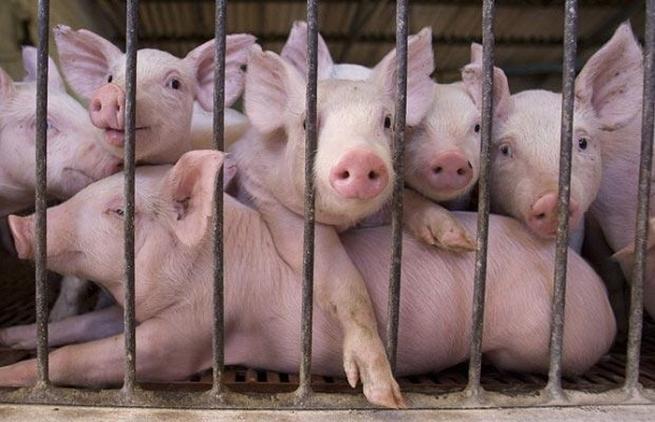 В России наблюдается нехватка свиного мяса