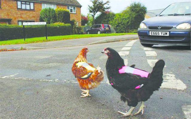 Британская компания создала одежду для куриц