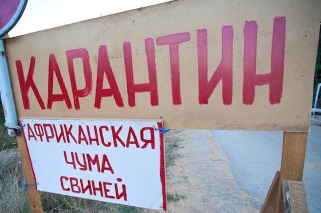 В Воронеже уничтожат 50 тысяч свиней из-за вспышки АЧС