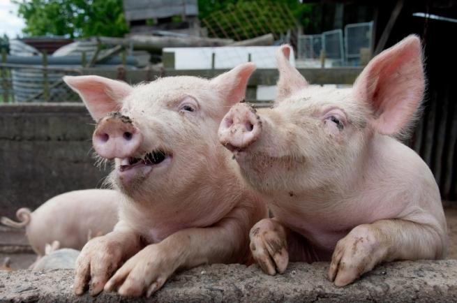 Ветслужба Украины остановила поставки свинины в Россию