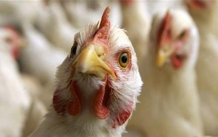 Россия приостановила поставки птицы из Италии