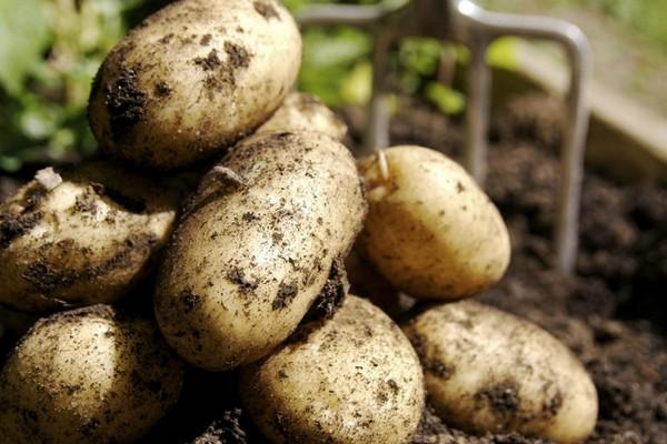 Производители картофеля пожаловались в Минсельхоз на торговые сети