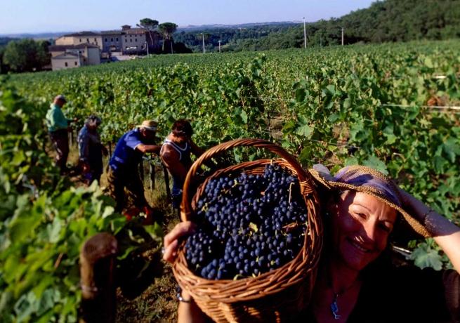 Шведская компания Inkerman за 5 лет высадит 1000 га виноградников в Крыму