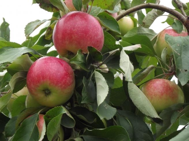 Яблоки перестанут быть доступным лакомством