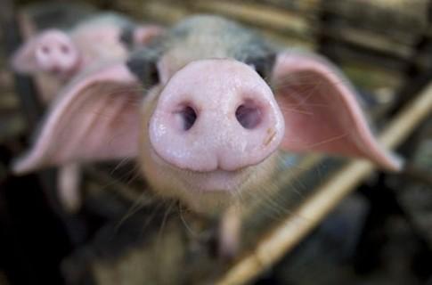 Евросоюз судится с Россией из-за свинины