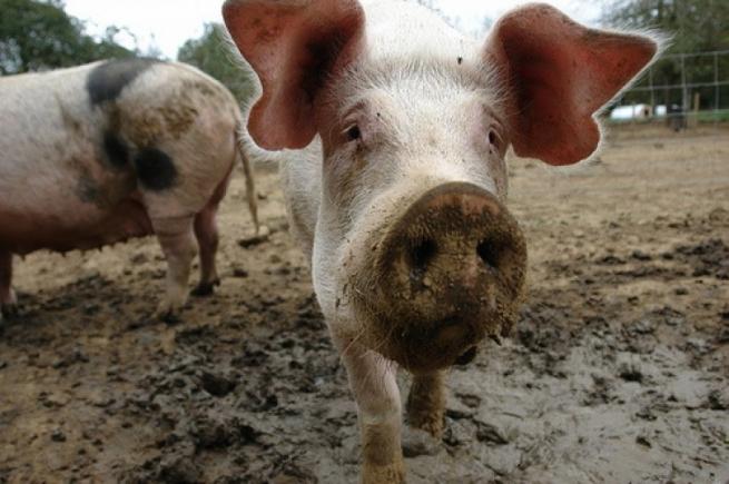 Поставщики свинины из Бразилии подняли цены для России из-за санкций