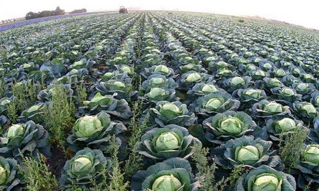 Европейцы начали покупать российские овощи из-за неурожая
